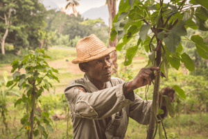 Sustainable faming. A vanilla farmer tending to his crop.